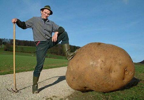 A big Potato